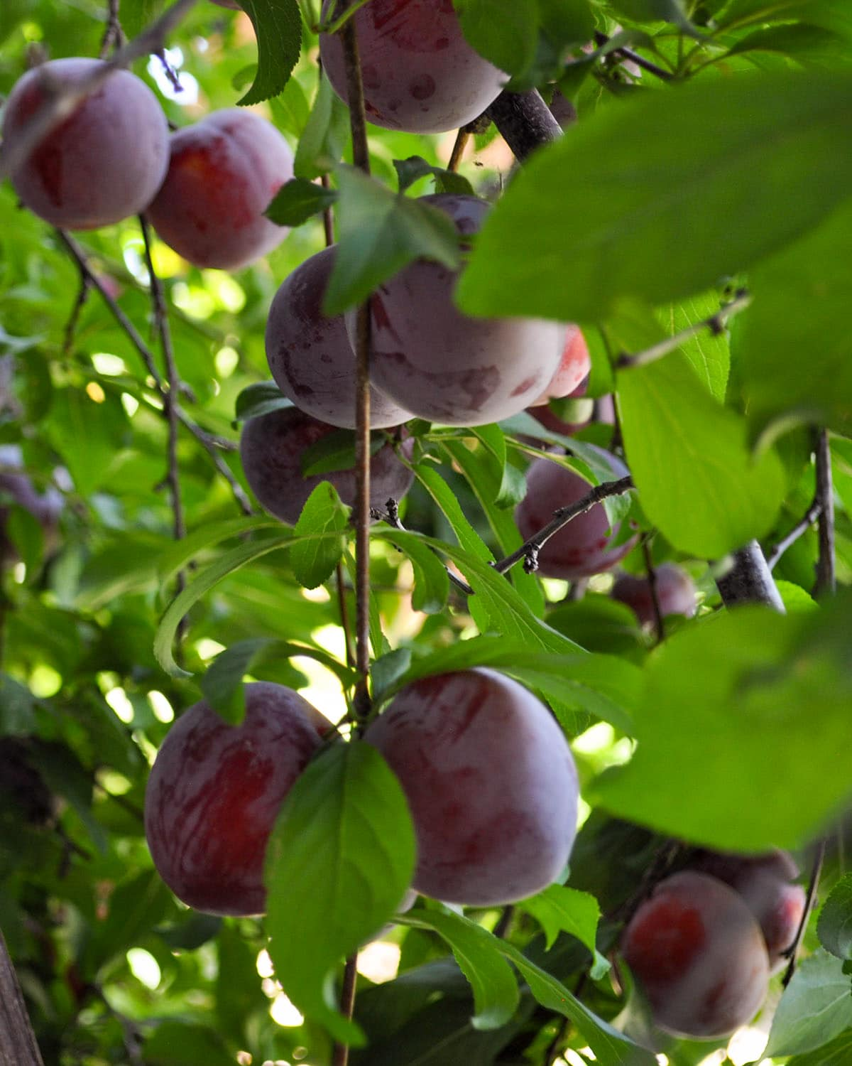 a close up of a plum tree full of ripe plums